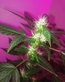 Amnesie Haze Flowering Cannabis Royalty-vrije Stock Afbeelding