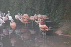 Amneville-Zoo: Flamingos stockbilder