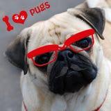 Amo i carlini con il cane divertente Immagini Stock Libere da Diritti