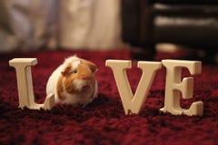 Amo mi conejillo de Indias Imagen de archivo libre de regalías