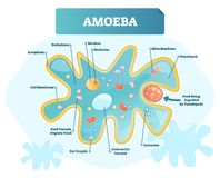 Amoeba labeled vector illustration. Single cell animal structure scheme. Amoeba labeled vector illustration. Educational single cell animal structure scheme vector illustration