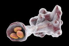 Amoeba protozoan engulfing bacteria. Isolated on black background, 3D illustration Royalty Free Stock Images