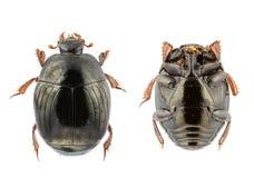 Amoenus de Chalcionellus Photographie stock libre de droits
