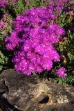 Amoenus de Lampranthus Photos stock