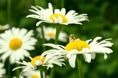 Сamomile Flower and Bee Royalty Free Stock Photography