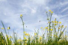 amongst buttercups royaltyfri foto