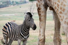 Amongst Giants - Zebra and Giraffe Royalty Free Stock Photography