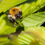 Amongst The Hedgerow Jungle. A macro shot of a bee sitting on a green leaf royalty free stock photo