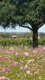 Amongst Texas Wildflowers and Wine stock photos