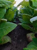 Amongst the tobacco plants royalty free stock photo