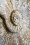 Amonit - fossile d'océan de préhistoire Photos stock