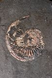 amonit skamielina Obrazy Stock