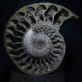 Amonit skamielina zdjęcia stock