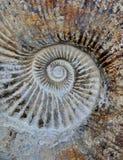 Amonit spirala obraz stock