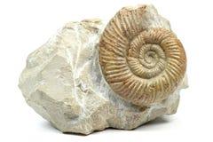 Amonita Imagen de archivo
