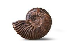 Amonita - molusco fósil Foto de archivo libre de regalías