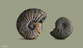 Amonita - molusco fósil Imagen de archivo libre de regalías