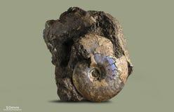 Amonita - molusco fósil Fotos de archivo