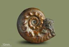 Amonita - molusco fósil Imagenes de archivo