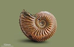 Amonita - molusco fósil Fotografía de archivo libre de regalías
