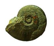 Amonitas fósiles en un fondo del whte fotografía de archivo