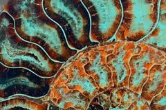 Amonite fóssil Fotografia de Stock