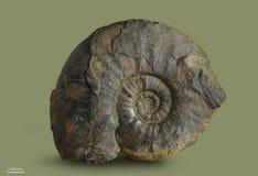 Amonite - molusco fóssil Imagens de Stock