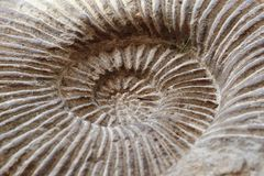 Amonites fossil background Stock Photo