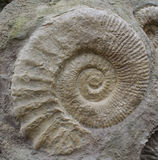 Amoniti Fossile. Ammonites are excellent index fossils, and it is often possible to link the rock layer in which a particular species or genus is found to Royalty Free Stock Images