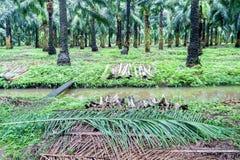 Amontonamiento de frondas en la plantación de la palma de aceite Foto de archivo