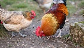 Amontone con la cresta roja y la gallina en la granja Fotografía de archivo libre de regalías
