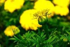 Amor amarelo fotografia de stock royalty free