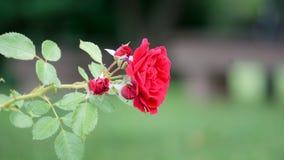 Amor amarelo e vermelho Imagens de Stock Royalty Free