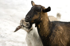 Amor animal Imagem de Stock Royalty Free