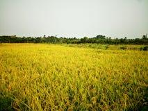 Amor bonito da natureza da árvore do arroz Imagens de Stock Royalty Free