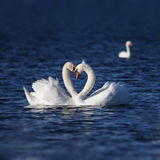 Amor da cisne Fotografia de Stock Royalty Free