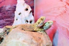 Amor da iguana Fotos de Stock