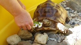 Amor da tartaruga Fotografia de Stock