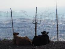 Amor da vaca Fotografia de Stock