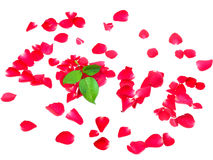 Amor das pétalas cor-de-rosa isoladas no fundo branco Foto de Stock Royalty Free