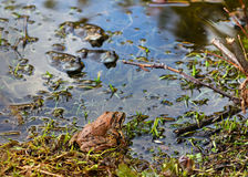 Amor das rãs na lagoa na mola fotografia de stock
