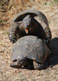 Amor das tartarugas Foto de Stock