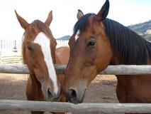 Amor de caballo Imagenes de archivo