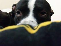 Amor de cachorrinho Fotografia de Stock