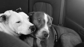 Amor de cachorrinho Fotos de Stock Royalty Free