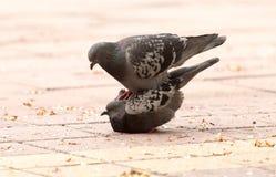 Amor de dos palomas en la acera Foto de archivo libre de regalías
