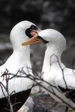 Amor de Galápagos Fotografia de Stock