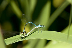 Amor de Gragonfly Foto de Stock Royalty Free