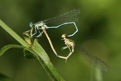 Amor de la libélula Fotografía de archivo libre de regalías