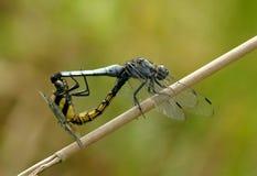 Amor de la libélula Fotos de archivo libres de regalías